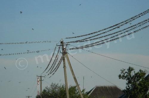 Ласточки, сидящие на проводах, много ласточек