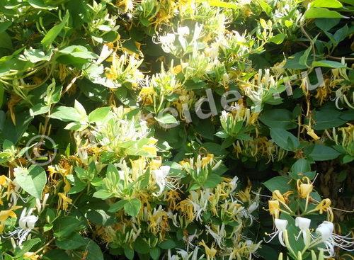 Жимолость каприфоль - растение с белыми и желтыми ароматными цветами