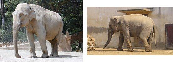 Чем отличаются африканский и индийский слоны