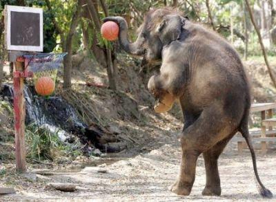 Чем отличается индийский слон от африканского?
