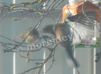 Поведение птиц у кормушки - драка