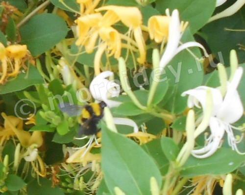 Шмель, собирающий нектар