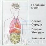Анатомия для детей: внутреннее строение человека