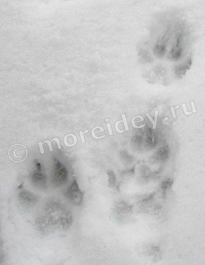 следы собаки на снегу фото