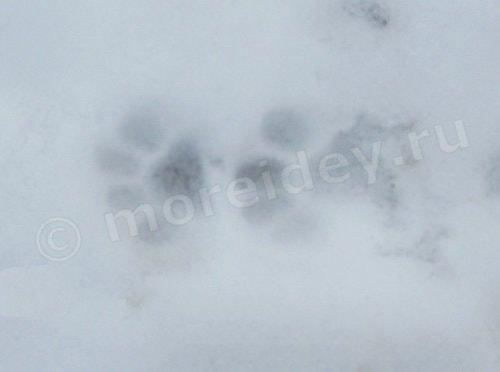 следы кошки на снегу фото