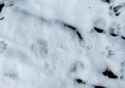 следы животных на снегу фото