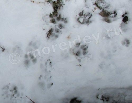 следы кошки и собаки на снегу